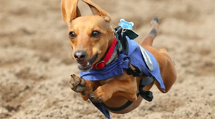 A wiener dog running